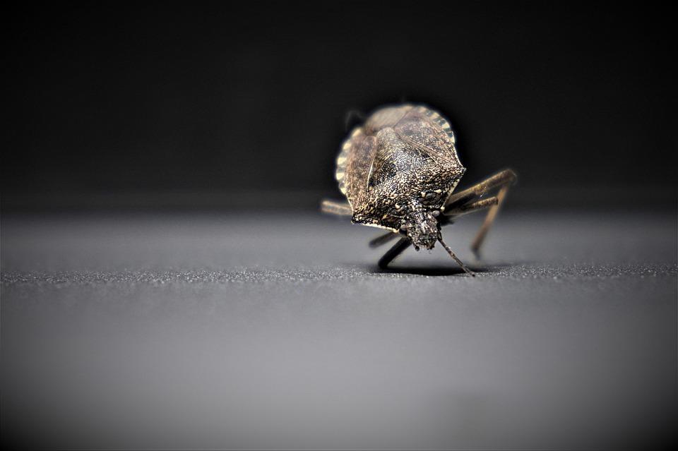 parazit ploštice